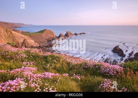 Flowering sea thrift at Hartland point Devon uk - Stock Image