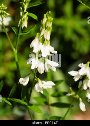 White pea flowers of the summer blooming perennial Goat;s rue, Galega officinalis 'Alba' - Stock Image
