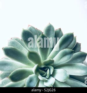 A close up of a green and healthy succulent plant from above on a white background with copy space - Stock Image