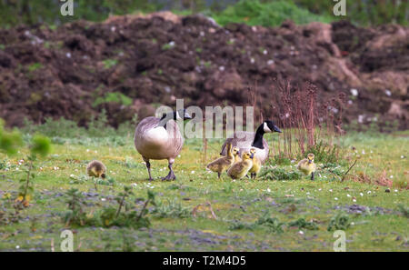 A breeding pair of Canada geese (Branta canadensis) with six goslings walks on a grassy field at the Wood Lane Nature Reserve in Shropshire, England. - Stock Image