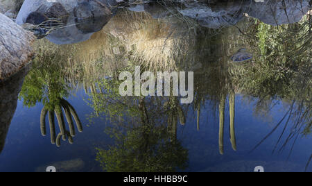 Spring in creek sonoran desert Tuscon Arizona saguaro - Stock Image