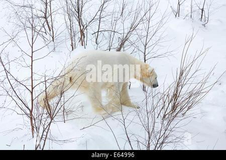 Polar bear, Finland - Stock Image