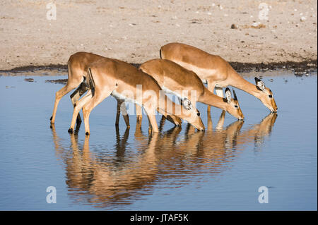 Four impala females (Aepyceros melampus) drinking, Botswana, Africa - Stock Image