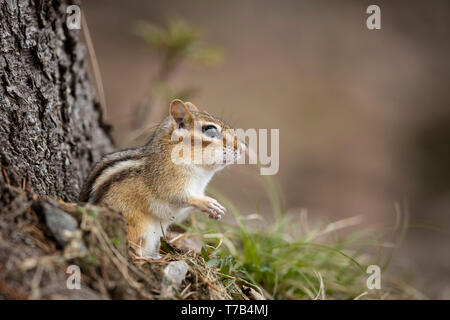 MAYNOOTH, ONTARIO, CANADA - April 29, 2019: A chipmunk (Tamias), part of the Sciuridae family forages for food.  ( Ryan Carter ) - Stock Image
