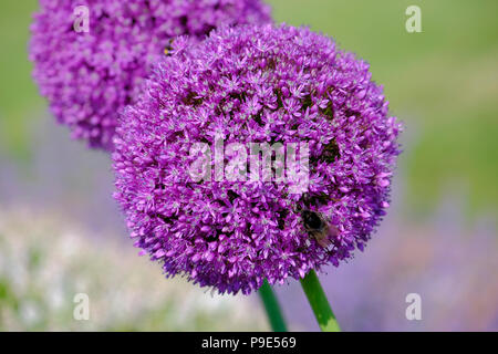 close up of Allium bloom and Bee - Stock Image