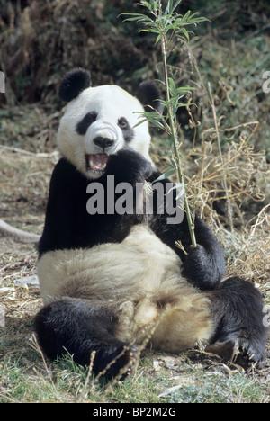 Giant panda sitting up to feed on bamboo, Wolong, China - Stock Image