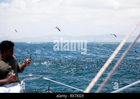 Comorants Feeding in Table Bay as Catamaran Passes - Cape Town, South Africa - Stock Image
