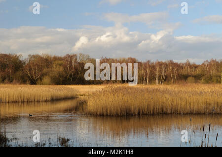 Sunlit reedbeds on a bright winter's day at the Yorkshire Wildlife Trust's Potteric Carr reserve near Doncaster, - Stock Image