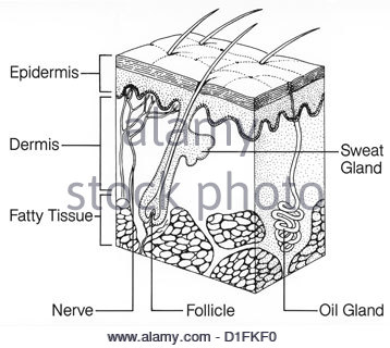 ILLUSTRATION - SKIN STRUCTURE - Stock Image