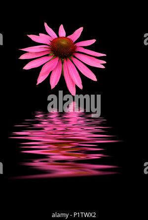 Coneflower (Echinacea) reflected in water - Stock Image