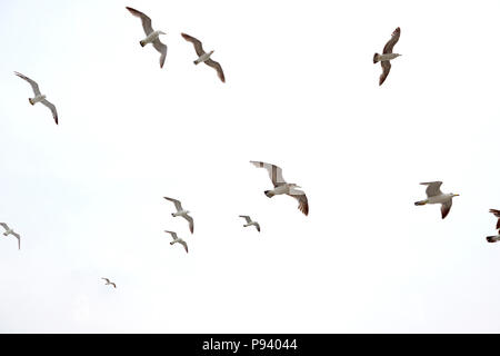 A squabble of seagulls flying, isolated on white background. - Stock Image