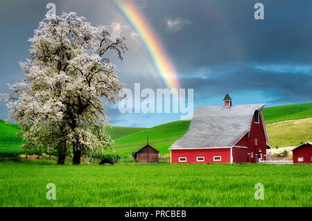 Red barn and blooming tree with rolling hills of wheat and tractor tracks. The Palouse near Colfax, Washington - Stock Image