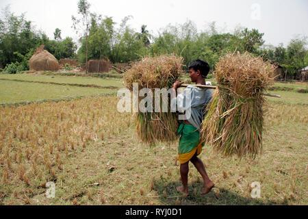 BANGLADESH Man carrying harvested rice, Near Mymensingh photo by Sean Sprague - Stock Image