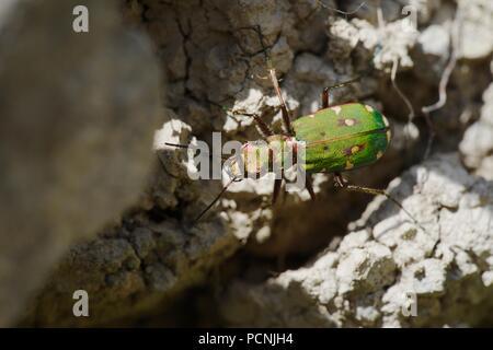 Cicindela campestris, Green Tiger Beetle, Wales, UK - Stock Image