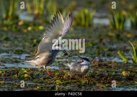White-Cheeked Tern male bringing a water worm to a female Tern in Danube Delta Romania wildlife bird photography in the Danube - Stock Image