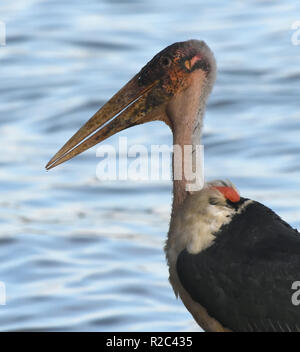 Portrait of a marabou stork (Leptoptilos crumenifer) on the banks of Lake Victoria. Entebbe, Uganda. - Stock Image