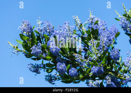 Californian lilac - Stock Image
