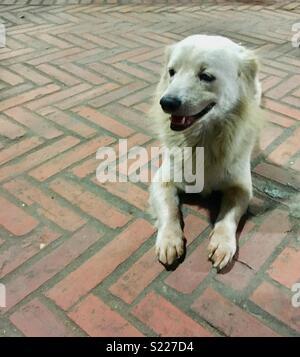 Street dog in Laos sitting on pavement - Stock Image