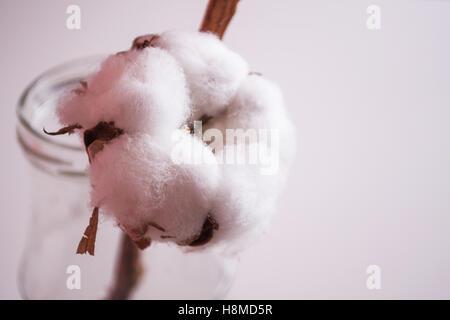 Cotton plant flower - Stock Image