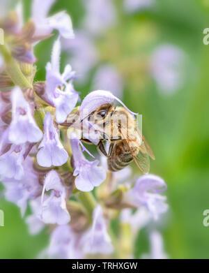 A bee feeding on Salvia flowers - Stock Image