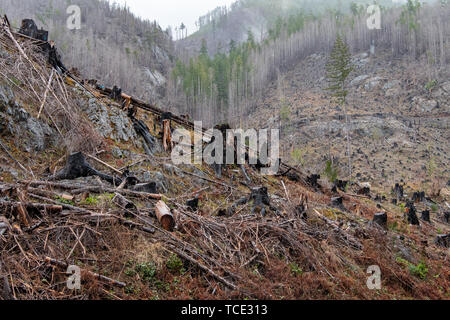 Burnt forest after a fire, Canada - Stock Image