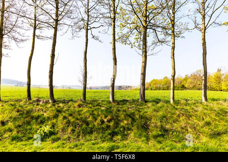 Row of trees Lincolnshire Wolds UK England, line of trees, trees evenly spaced, tree trunks, trees, row, line, field, Row of trees, Lincolnshire Wolds - Stock Image