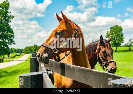 Thoroughbred horses on a Kentucky horse farm - Stock Image