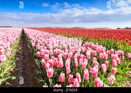 Multicolored tulips in the fields of Oude-Tonge during spring bloom, Oude-Tonge, Goeree-Overflakkee, South Holland, Netherlands - Stock Image