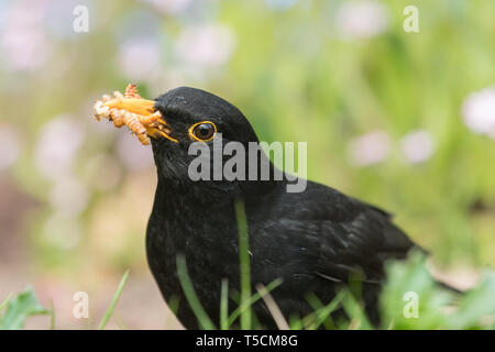 Stirlingshire, Scotland, UK. 23rd Apr, 2019. uk weather - a blackbird collecting food for its young takes full advantage of live mealworms left out in a Stirlingshire garden on another dry day. Dry weather makes it very difficult for ground feeding birds such as blackbirds to access earthworms because of hard soil. Credit: Kay Roxby/Alamy Live News - Stock Image