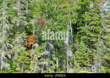 Early autumn fall color colour changes in a canadian pine forest. - Stock Image