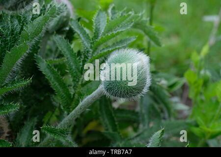 Hairy ball shaped poppy seed head - Stock Image