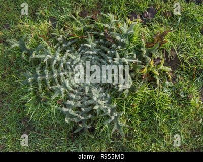 Winter leaf rosette of Spear Thistle / Cirsium vulgare - the furry leaves covered in fine droplets of water. - Stock Image