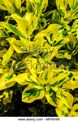Euonymus fortunei  (Fortune's spindle, winter creeper) climbs on a pergola in morning sun in spring. - Stock Image
