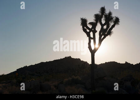 Joshua tree backlit by sun, Joshua Tree National Park, California, USA - Stock Image