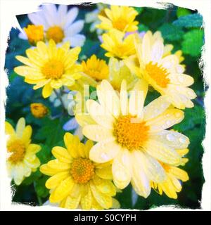 Pretty yellow daisies with morning dew on petals. Grungy, rough-edged white frame and vintage painterly paper texture - Stock Image