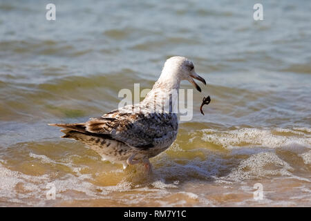 Something fell out of the beak of the gull. It is observed on the coast of the Baltic Sea in Poland in Kolobrzeg. - Stock Image