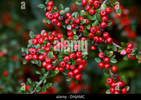 Cotoneaster, Cotoneaster horizontalis, Rosaceae. Western China. - Stock Image