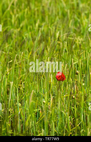 A single Common Poppy Papaver rhoeas growing in a field of barley. - Stock Image