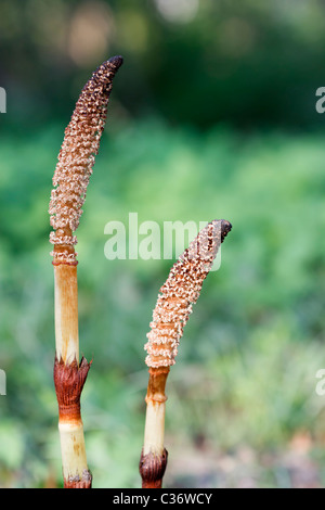 Close-up image of  Great Horsetail (Equisetum telmateia) in spring time. - Stock Image
