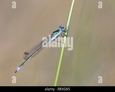 Emerald Damselfly male settled on a reed stem - Stock Image