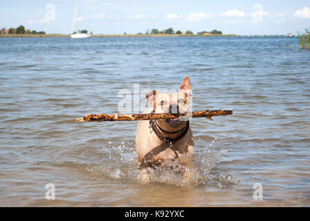 happy healthy staffordshire terrier dog, playing and swimming with stick in water in park on sunny day - Stock Image
