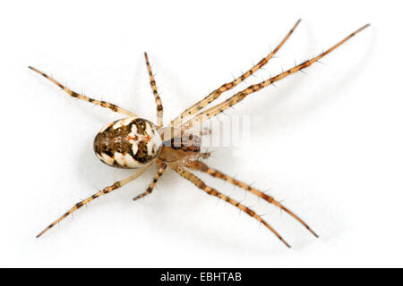 A female Long-jawed orbweaver (Metellina mengei) on white background. These spiders are part of the family Tetragnathidae, - Stock Image