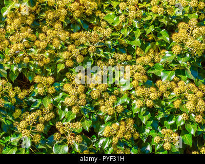 Flowering Common Ivy (Hedera helix) plant - France. - Stock Image