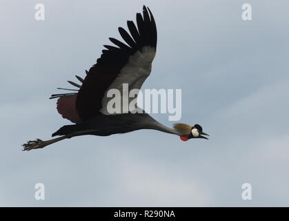 A grey crowned crane (Balearica regulorum) in flight over Lake Victoria. These birds, the national bird of Uganda,  are probably the East African  sub - Stock Image