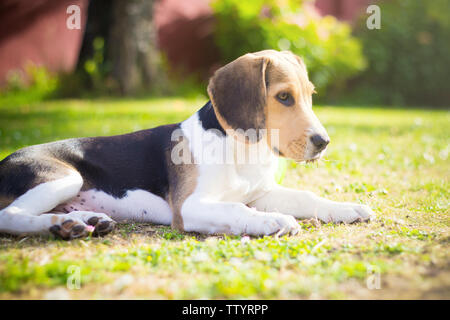 beagle puppy on the grass portrait - Stock Image