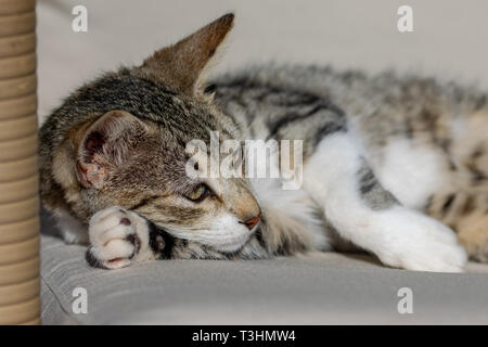 Young tabby cat kitten with paw under face relaxing of couch in sunlight - Stock Image