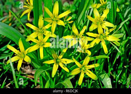 Star Of Bethlehem - Stock Image