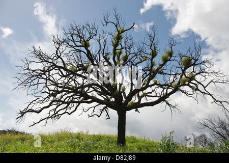 Cork Oak (Quercus suber) resprouts 10 months after fire near Cabanas São Brás de Alportel Algarve Portugal - Stock Image