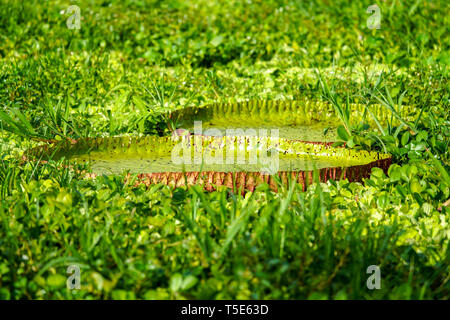 World's largest water lily, Victoria amazonica - Stock Image