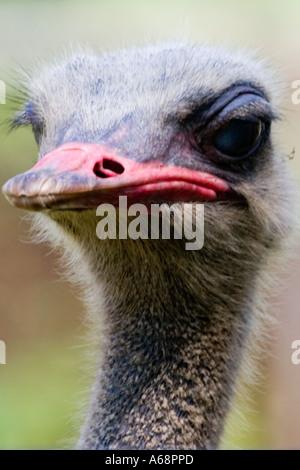Emu portrait - Stock Image